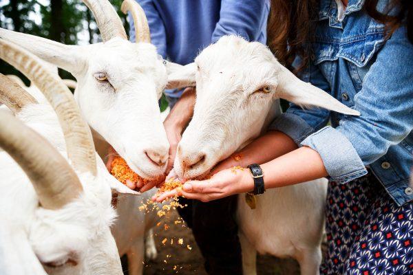geiten eten het groentepulp