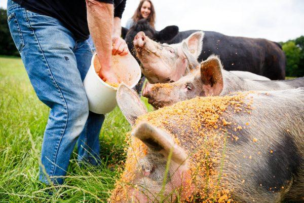varkens eten groentepulp