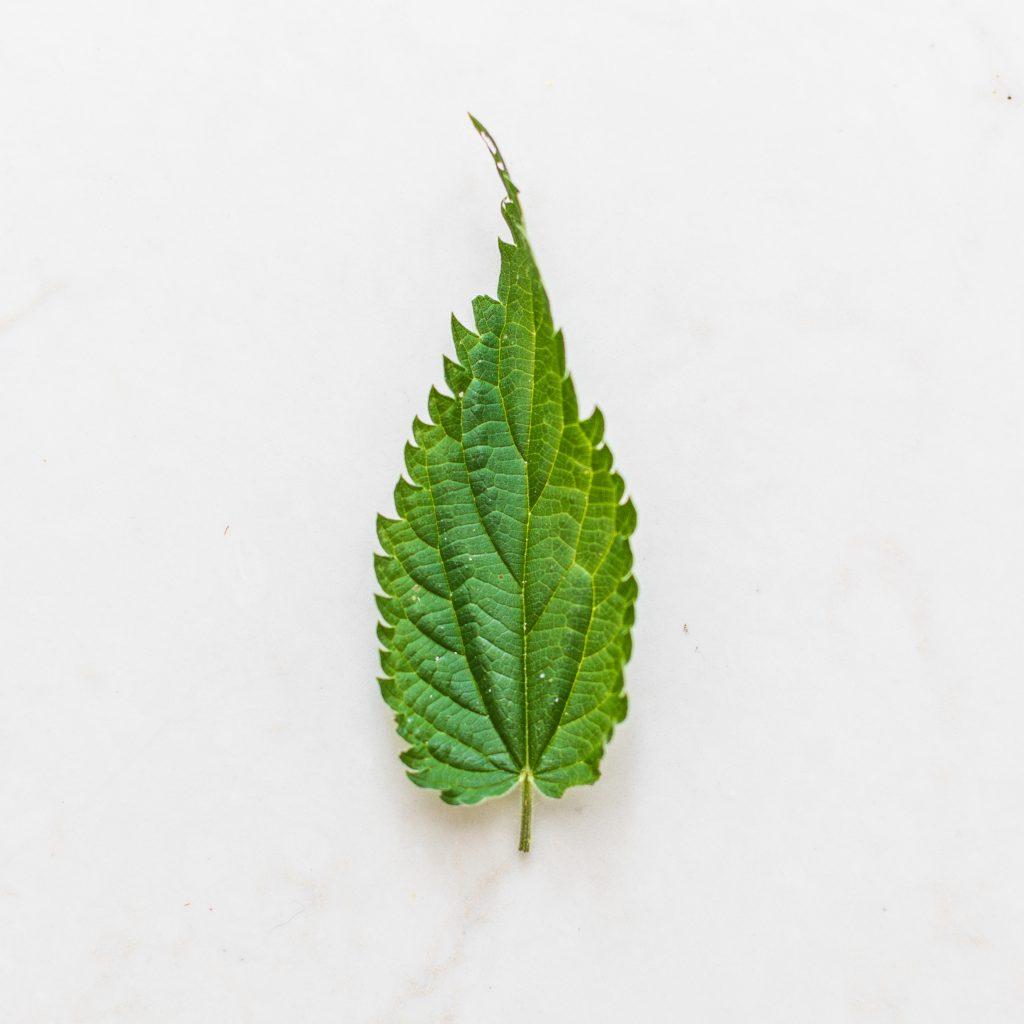 Brandnetel blad