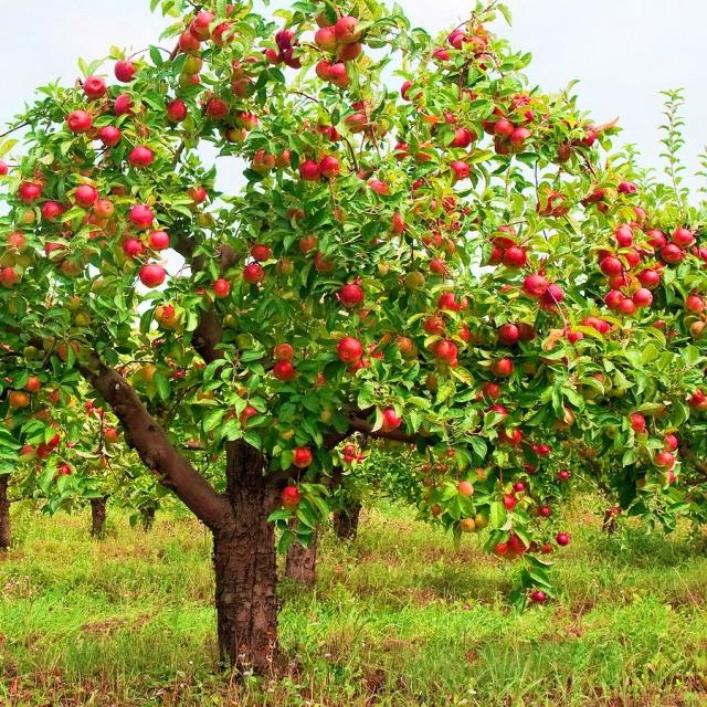biologische appelboom